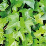 Hedera Green Ripple