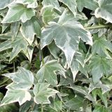 Hedera White Ripple