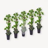 Klimplanten Hedera Hibernica