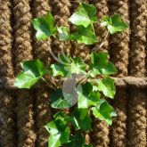 Kokowall plantkrammen
